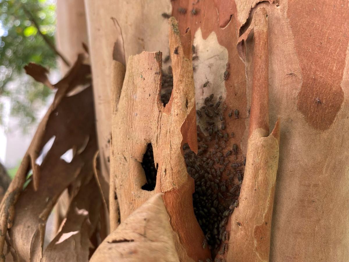 crape bark lice.jpg