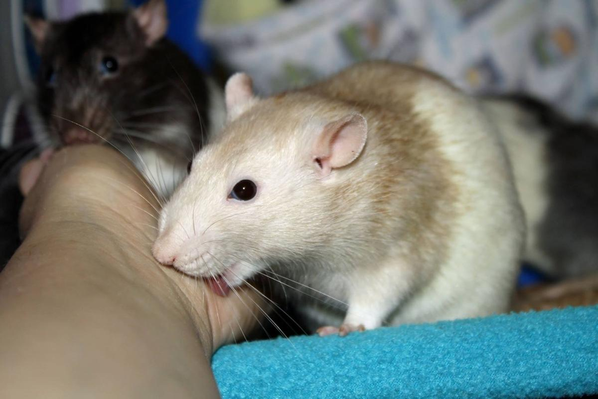 Meet the woman who rescues Louisiana rats_lowres