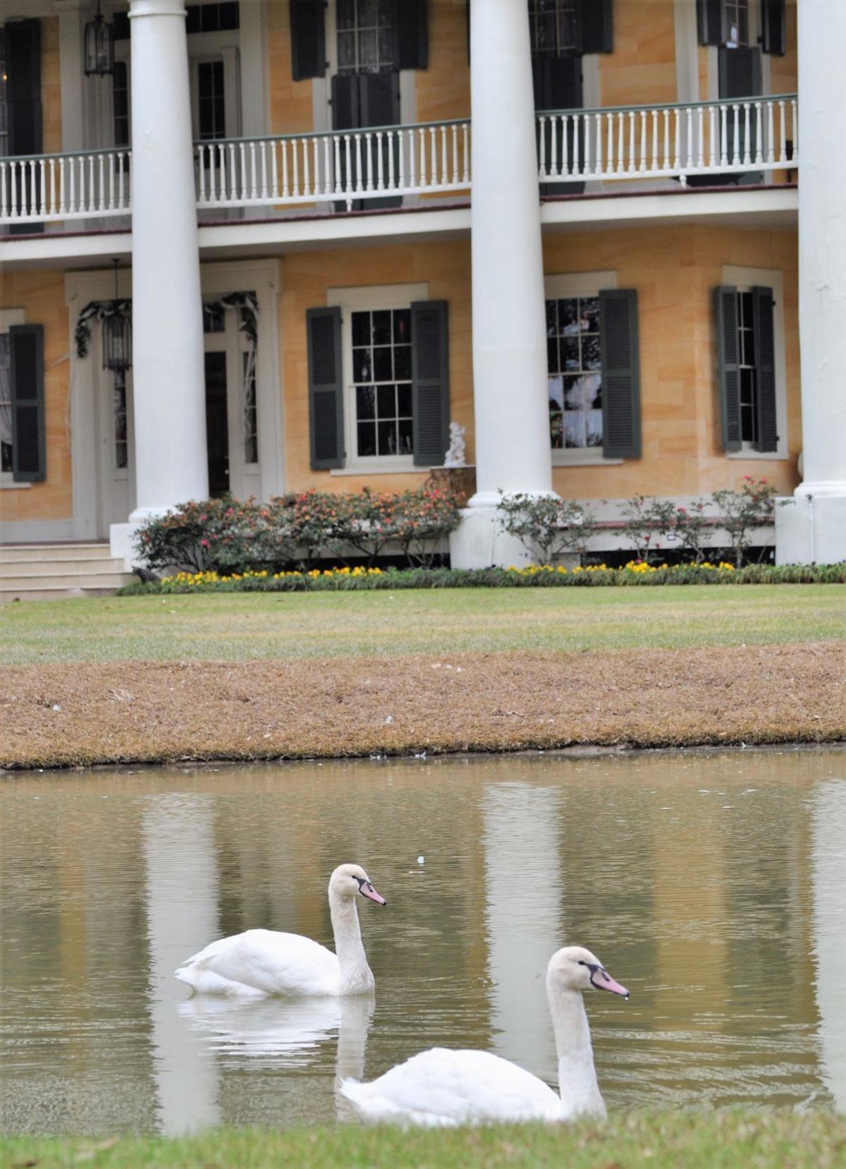 swans at Houmas House.JPG