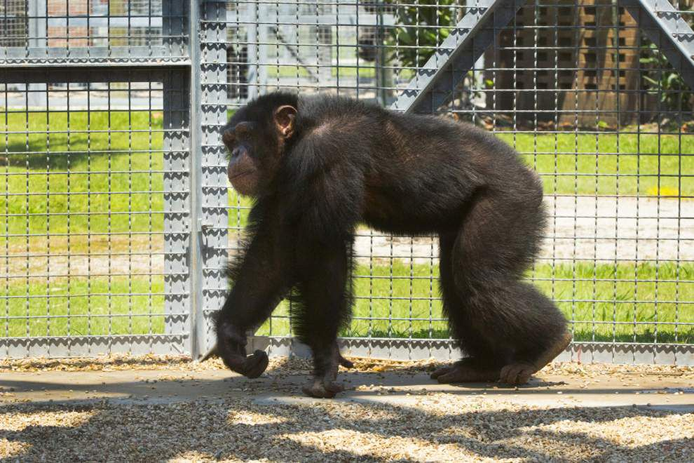 New Iberia Research Center sending 220 chimps to retirement sanctuary in Georgia _lowres