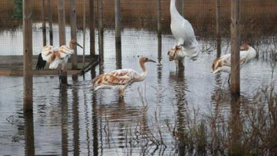 Zachary Richard creates ad promoting whooping cranes _lowres