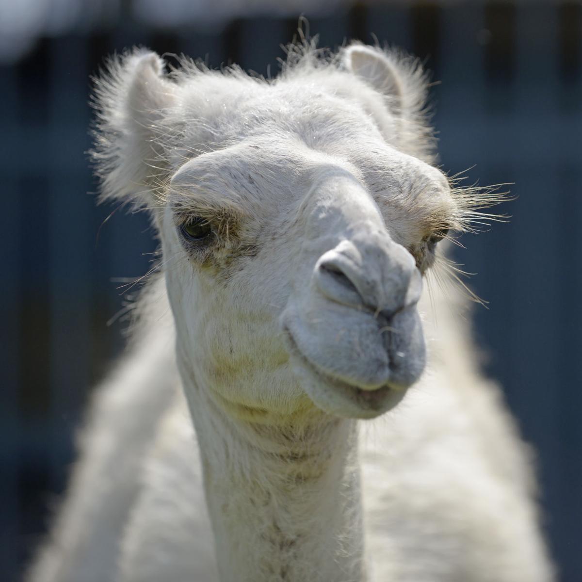 BR.camel.072218 HS 407.JPG