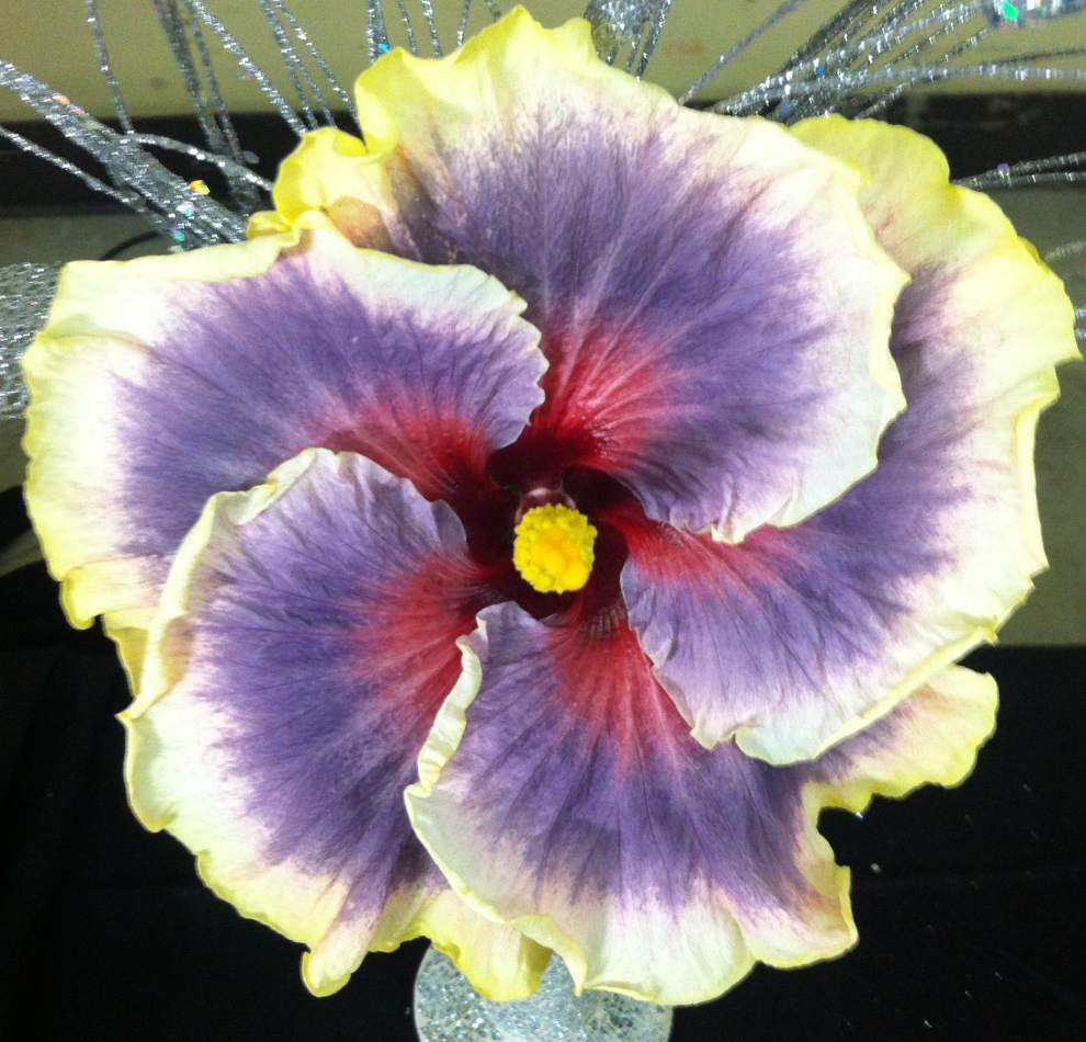 Hibiscus fanciers love hybrids for brilliant colors _lowres