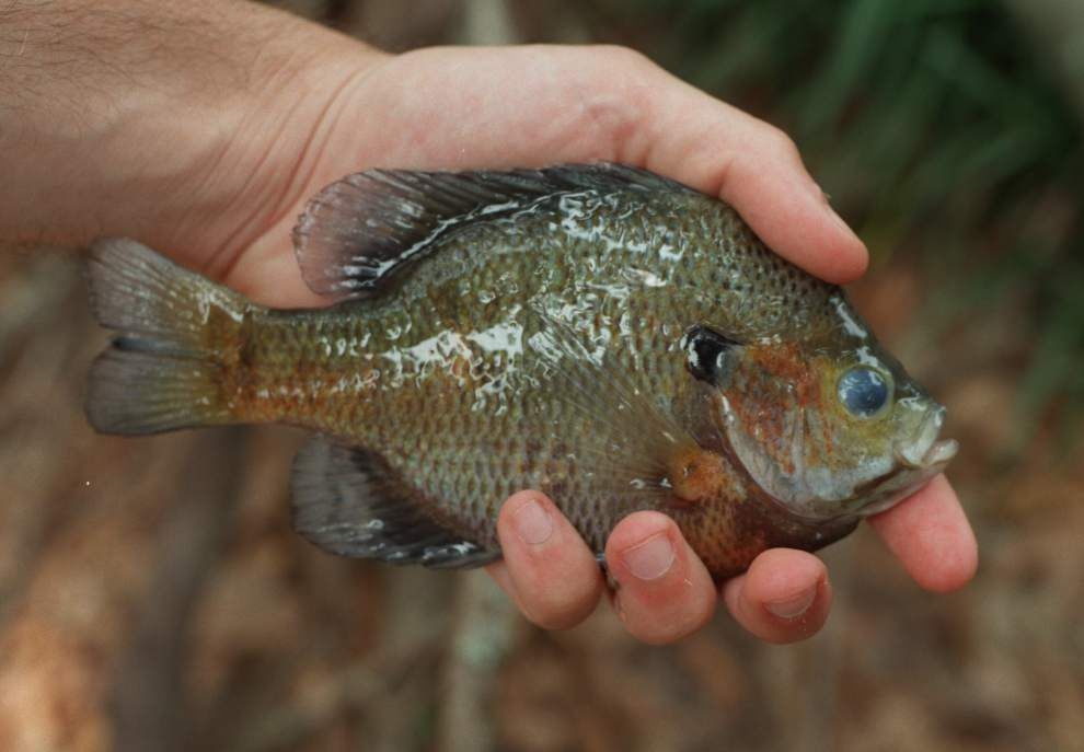 Budding pecan trees signal for big bream _lowres