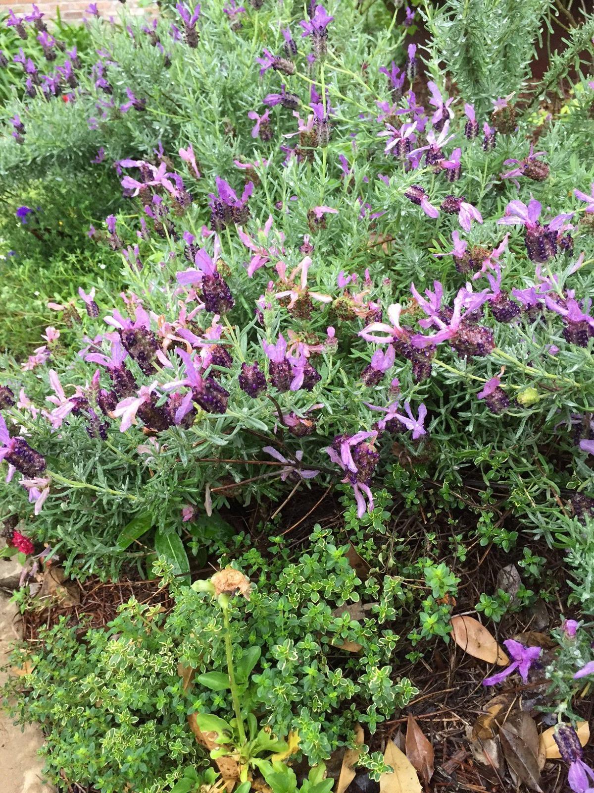 Lavender and Thyme.JPG