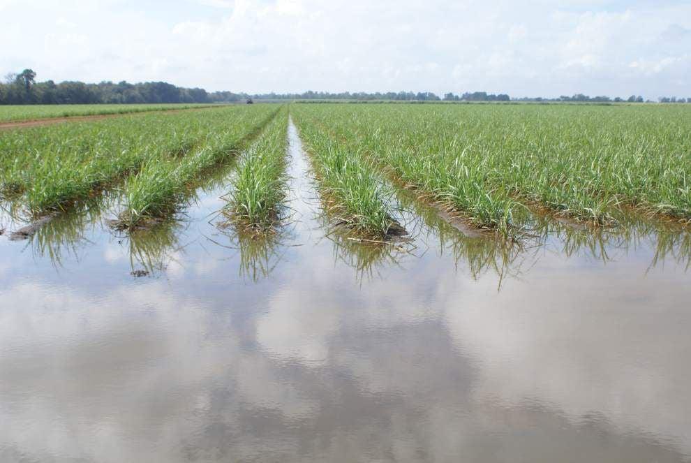 Heavy rains hit Louisiana sugar cane industry hard, reducing crop yields _lowres