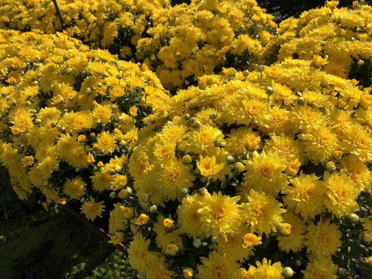 Chrysanthemum means Gold Bloosom in Greek photo by Anna Rib.jpg
