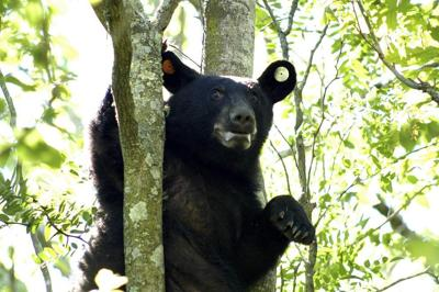 Louisiana black bear