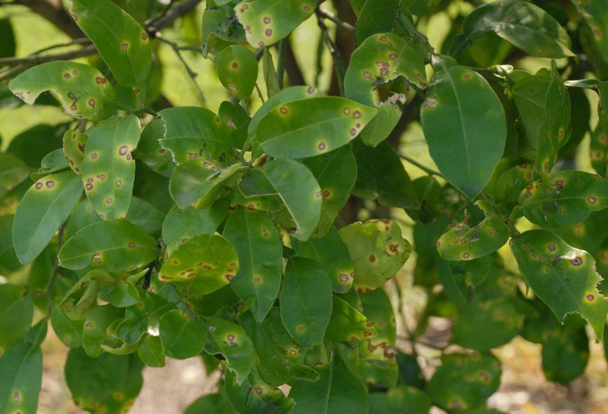Citrus canker on sweet orange leaves.jpg
