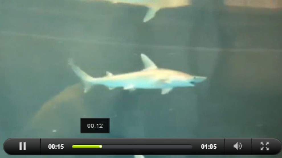 Marine study shows how sharks track prey _lowres