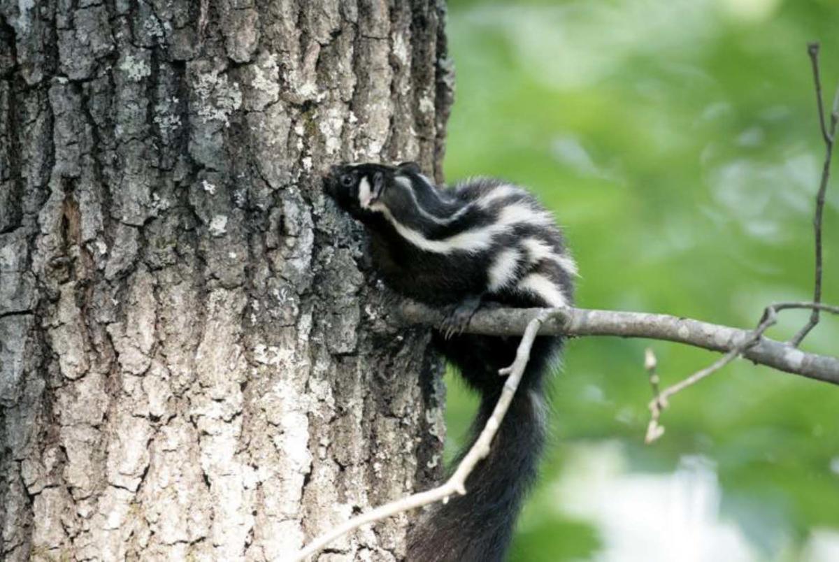Eastern Spotted Skunk.jpg
