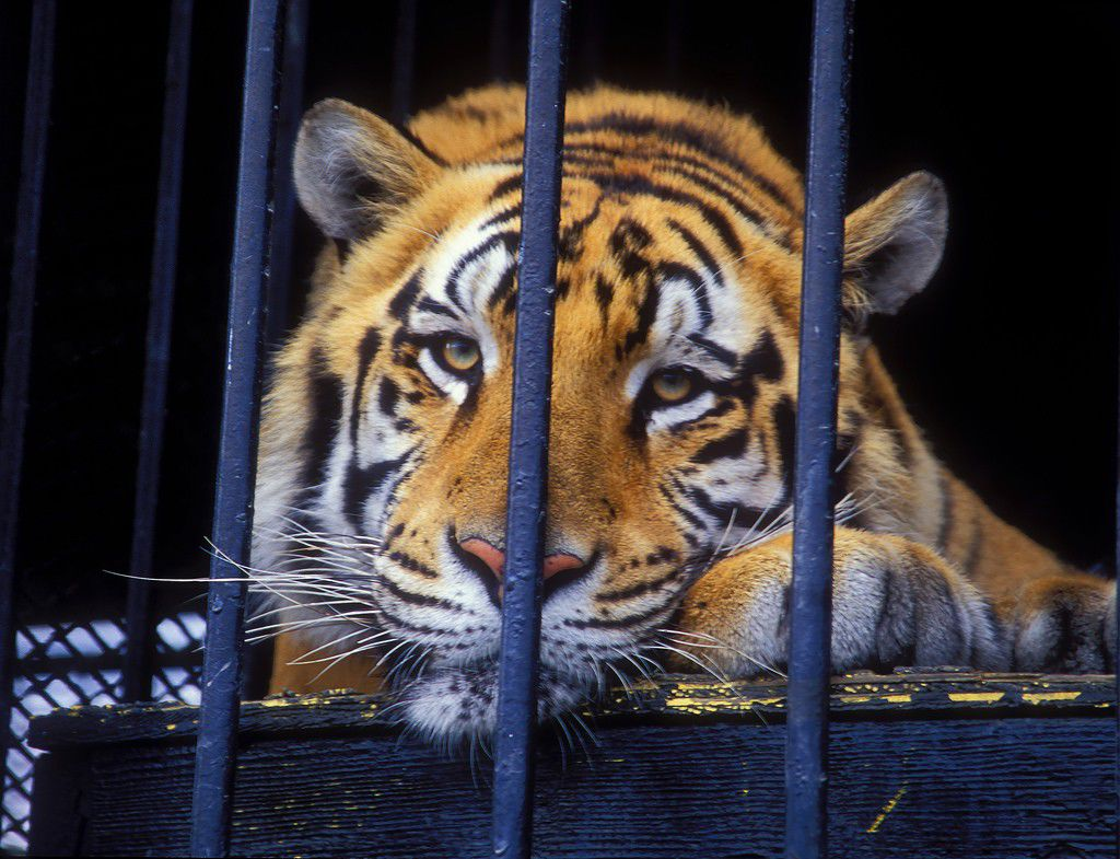 Tony the truck stop tiger euthanized after 17 years as Grosse Tete attraction_lowres