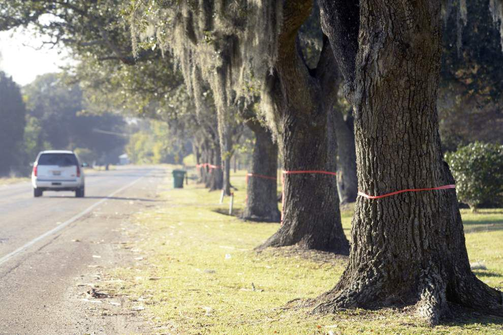 Group rallies to save Acadiana live oaks from DOTD's chainsaws _lowres