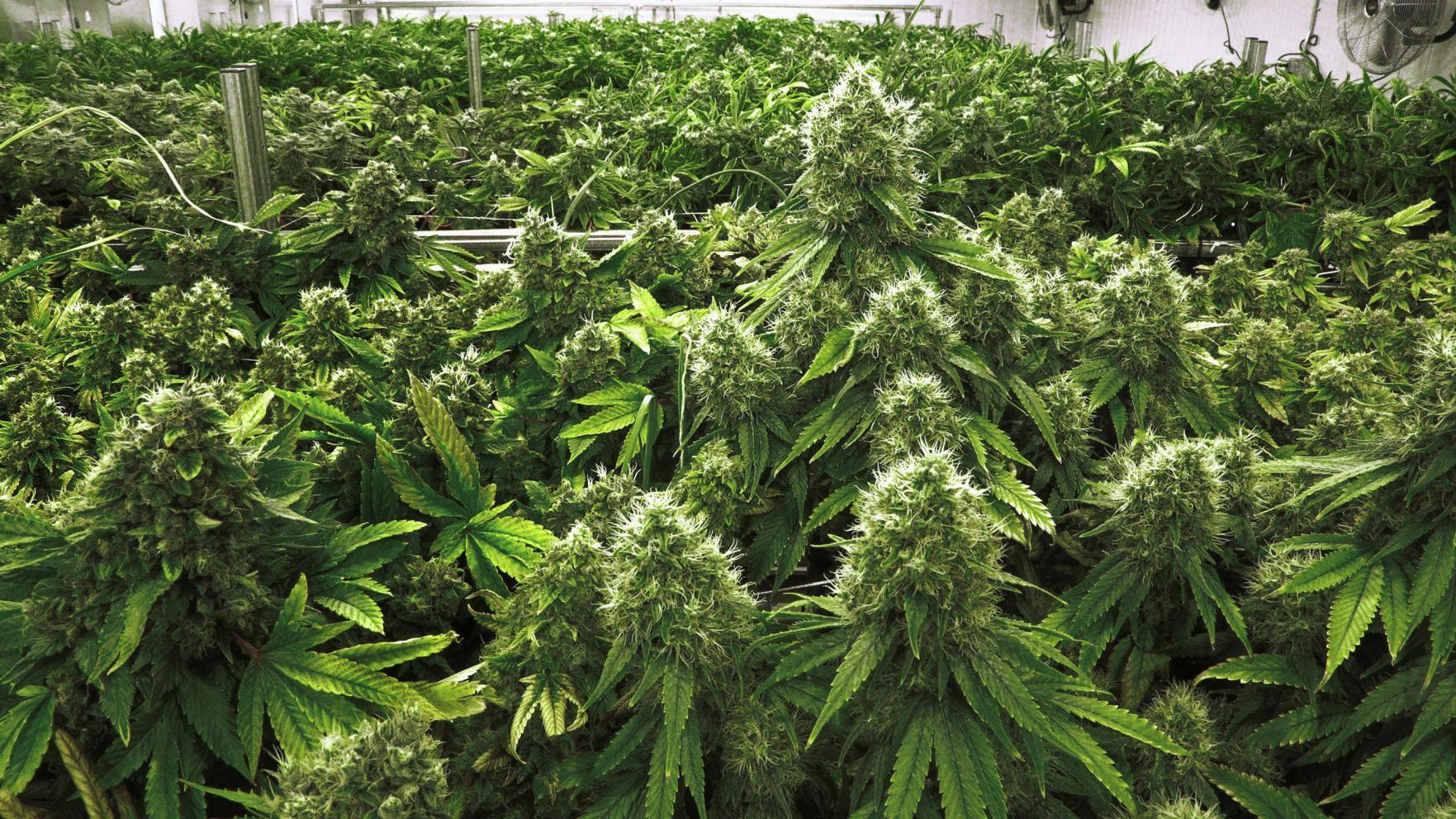 Люди выращивающие марихуаны купить автоцвет конопля