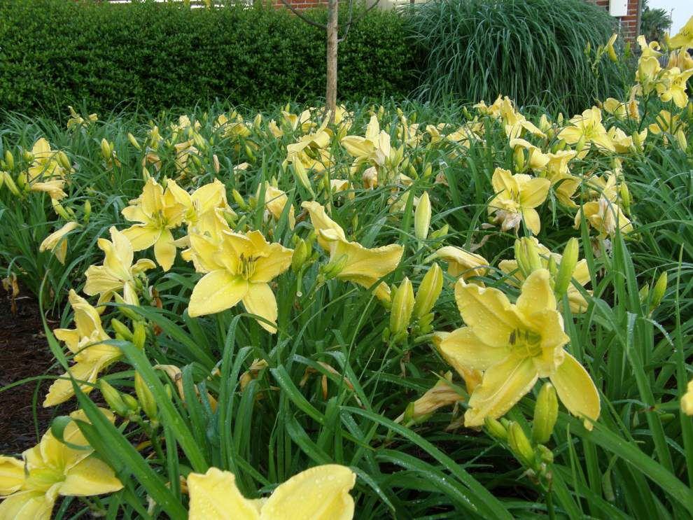 Daylilies (copy)