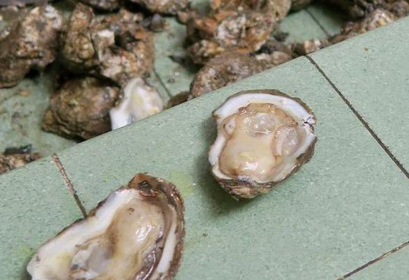 No luck: Alabama cancels oyster season after steep decline in state waters