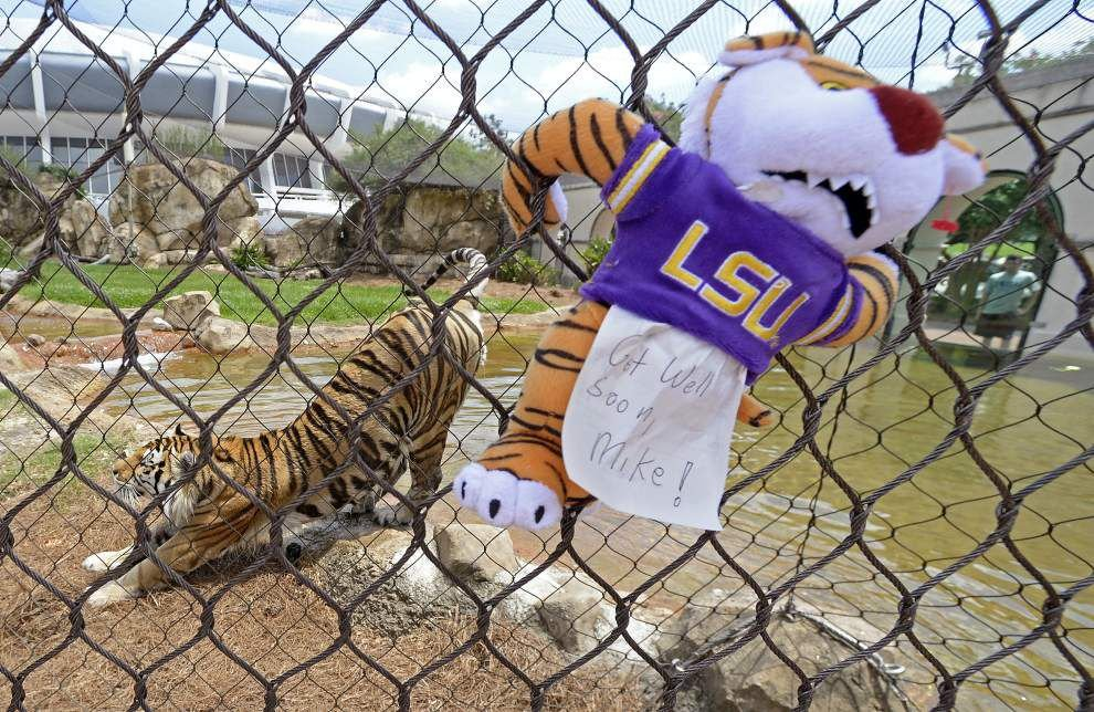 LSU's Mike the Tiger faces 'very serious, complex and life threatening condition' with cancer diagnosis, will receive first-of-its-kind care _lowres