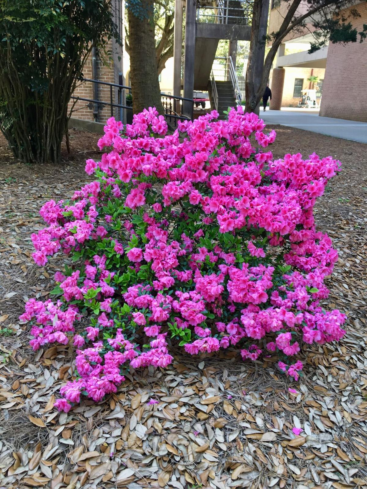 Spring blooming azaelas should be pruned right after bloomi.JPG