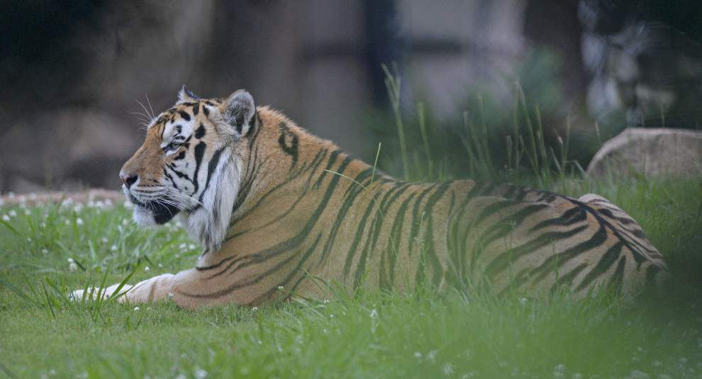 Photos: Get a glimpse at LSU tiger Mike VI's radiation treatment _lowres