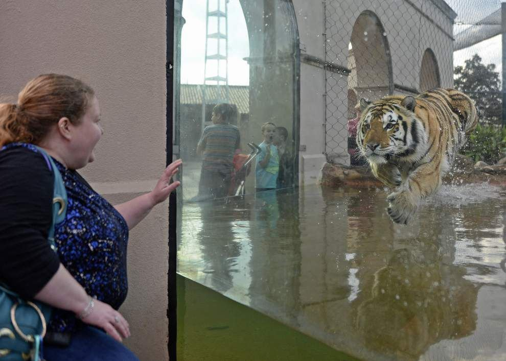 Photos: Our favorite Mike the Tiger shots, from scaring opponents in Tiger Stadium to playing in habitat _lowres