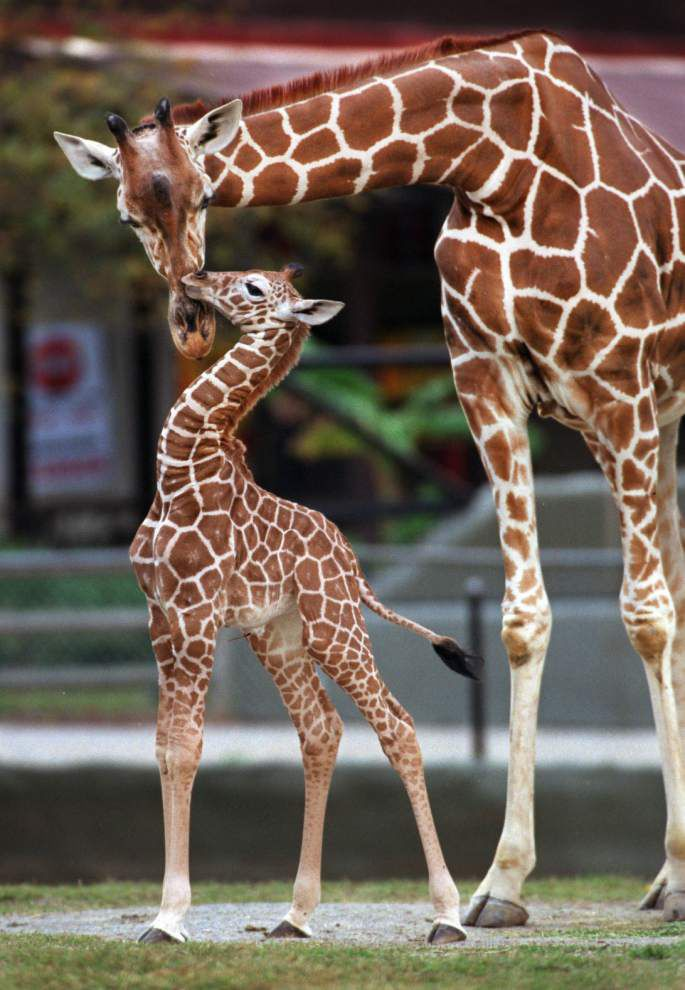 Review of giraffe deaths at Baton Rouge zoo finds no fault in staff handling; see the full report _lowres