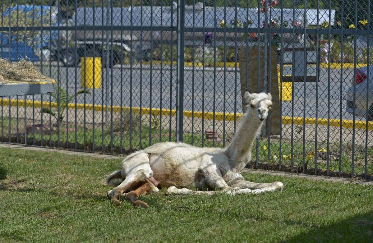 BR.camel.072218 HS 344.JPG