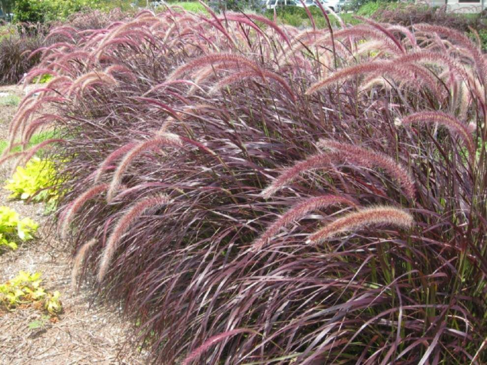 Graceful ornamental grasses add color, movement to landscapes _lowres