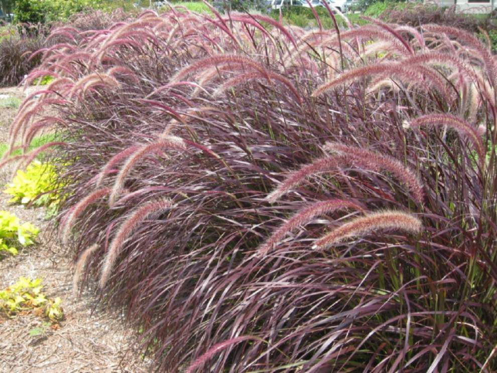 Cotton Candy Ornamental Grass Graceful ornamental grasses add color movement to landscapes home graceful ornamental grasses add color movement to landscapes lowres workwithnaturefo