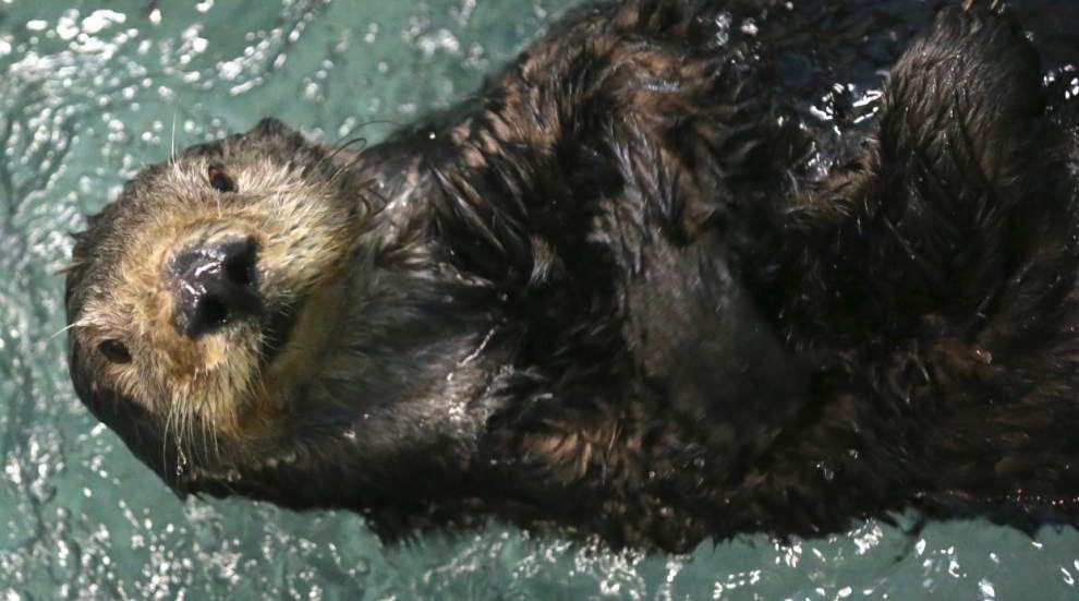 Beloved otter Mollie at Audubon Aquarium unexpectedly dies Wednesday _lowres