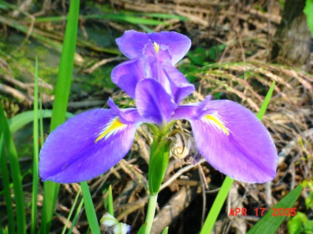 La Iris - blue.jpg (copy)