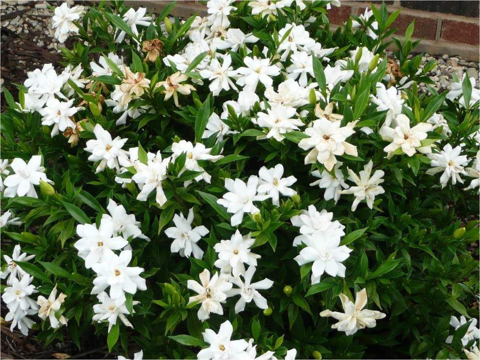 Gardenia varieties fill the air with spring perfume _lowres