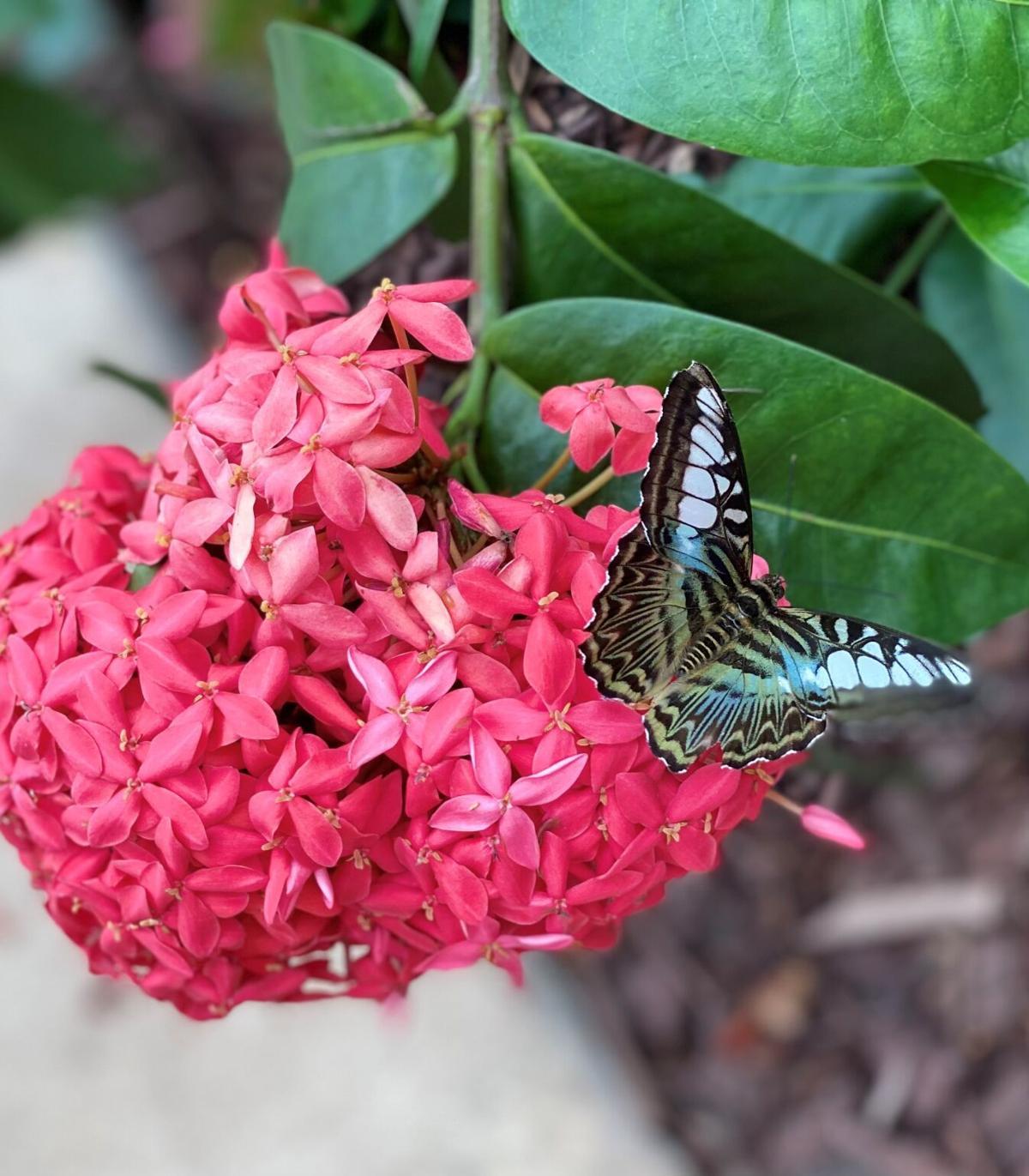 Butterfly on Ixora Photo by Heather Kirk-Ballard, LSU AgCen.jpg