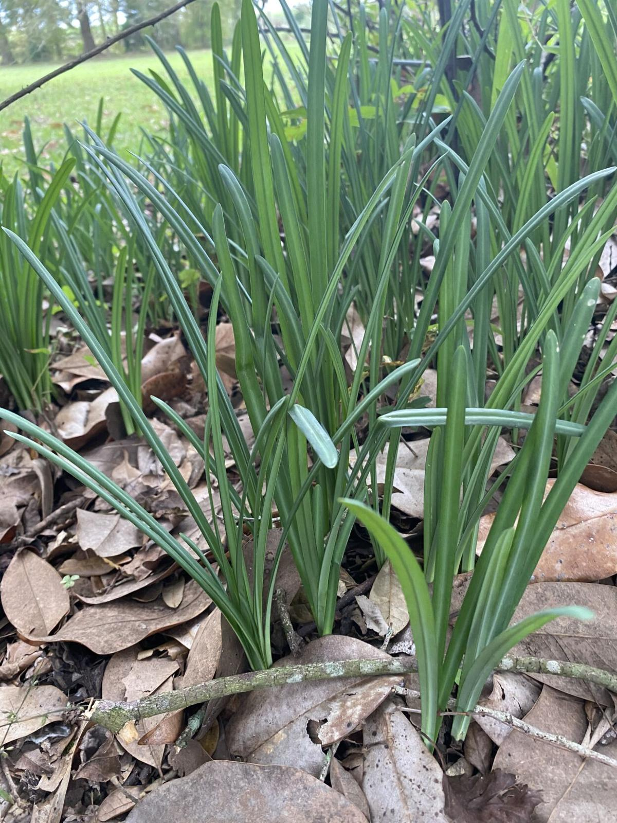 Long, strapy leaves of spider lily.jpg