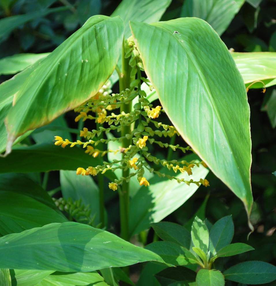 Dramatic ginger blooms spice up landscapes _lowres