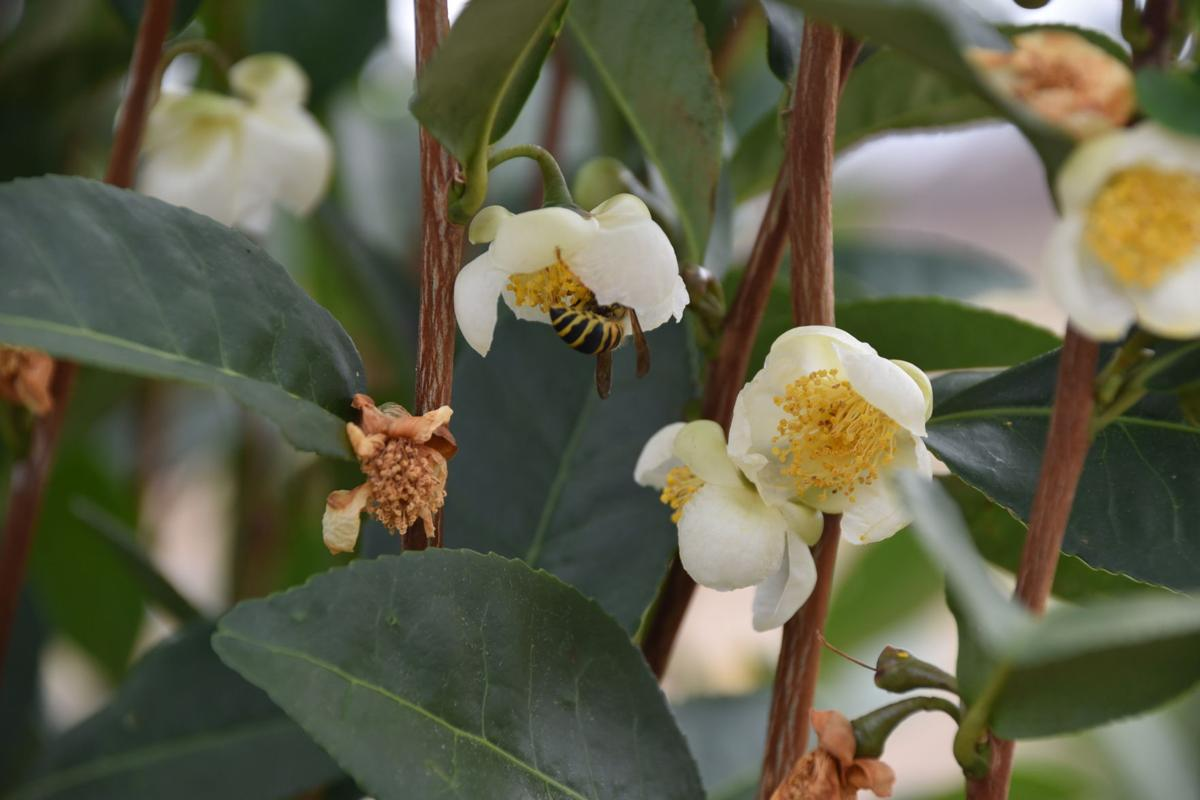 Tea flowers arrive in late fall.JPG