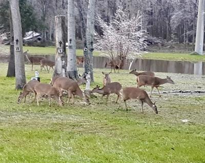 Deer crosses