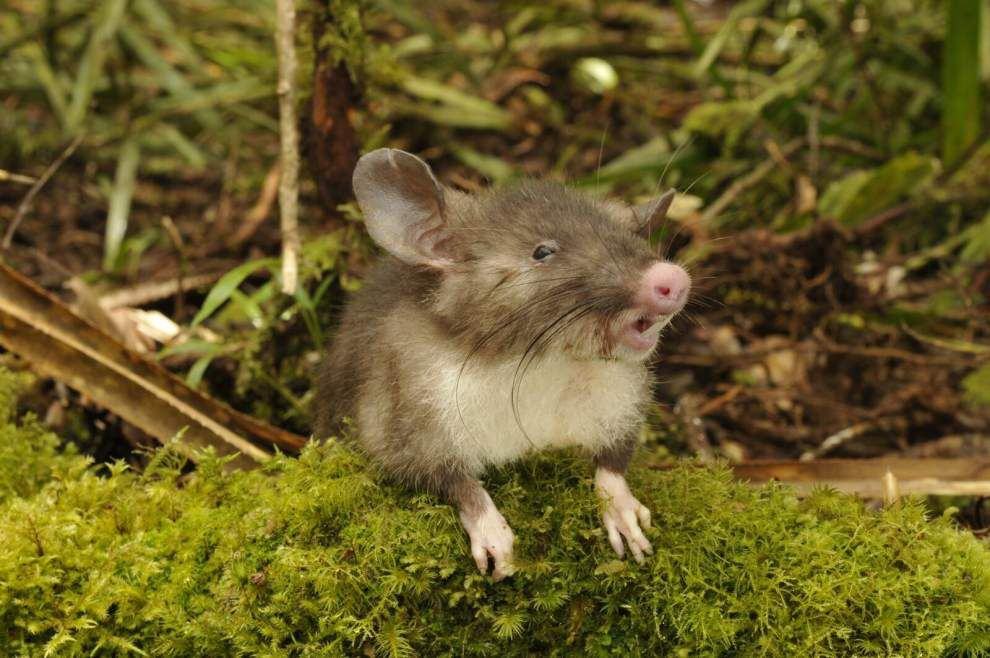 LSU researcher, other scientists discover 'Hog-nosed shrew rat' on Indonesian island _lowres