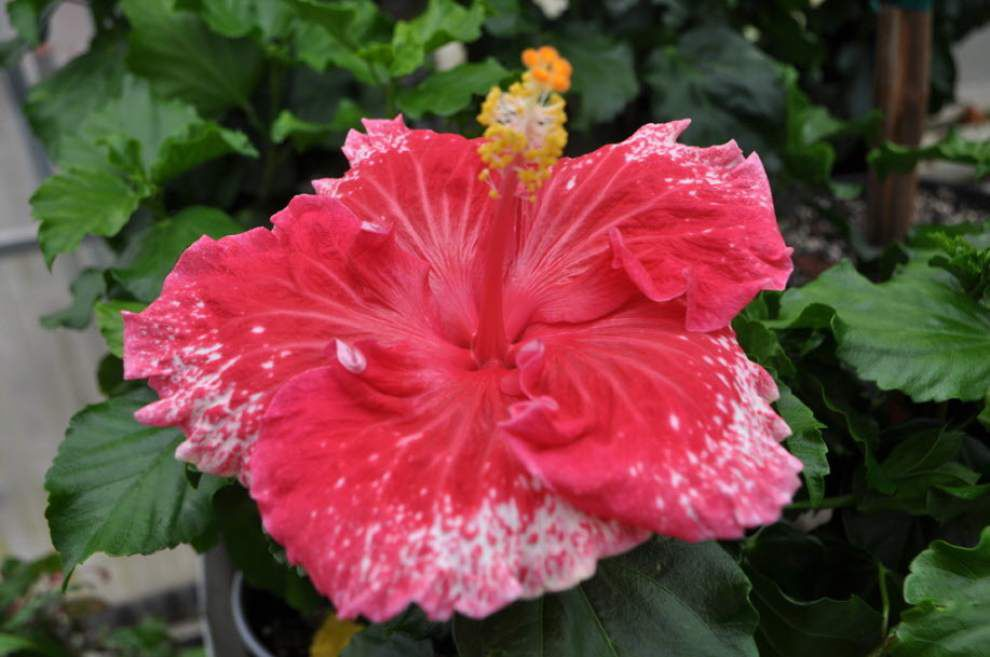 Red Stick Hibiscus Show, Sale set for LSU campus _lowres