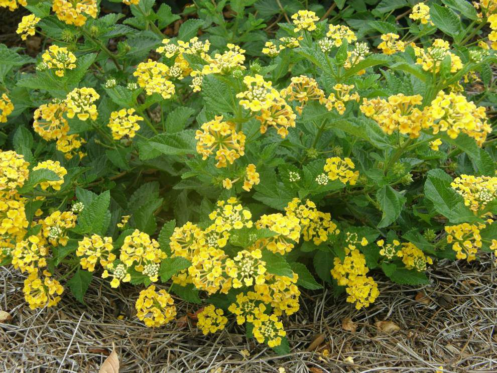 Garden news: Prepare for heat with drought-tolerant plants _lowres