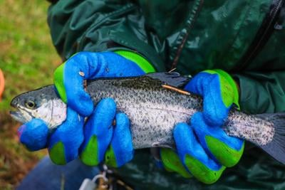 Tagged Rainbow Trout