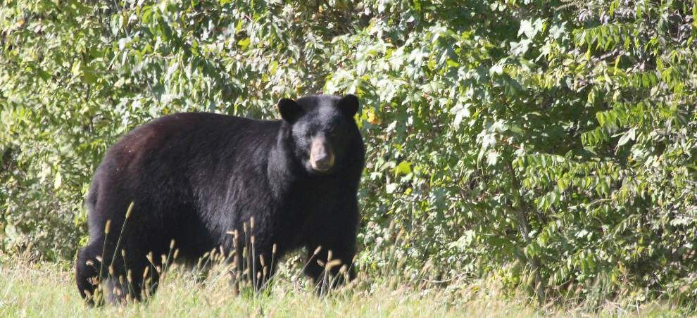 Some call for state bear hunting season as numbers increase _lowres