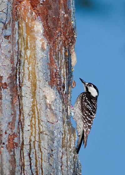 Red_cockaded_woodpecker_Big_Branch.100420.jpg