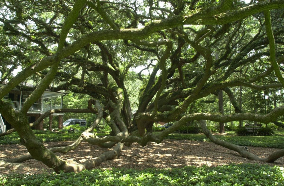 7 sister oak (copy)