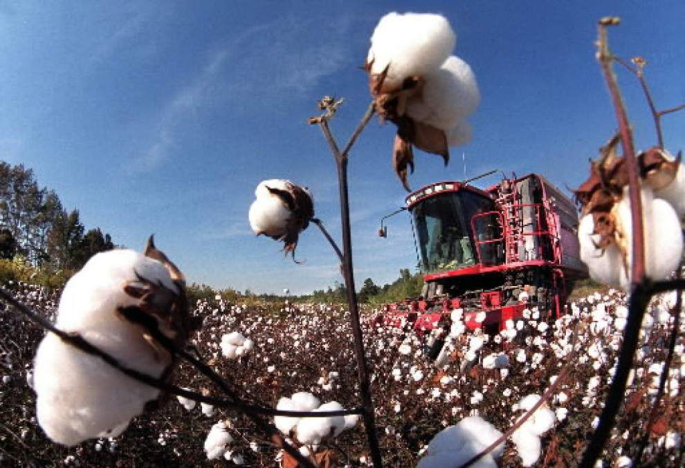 Louisiana cotton acreage up, but prices still low _lowres