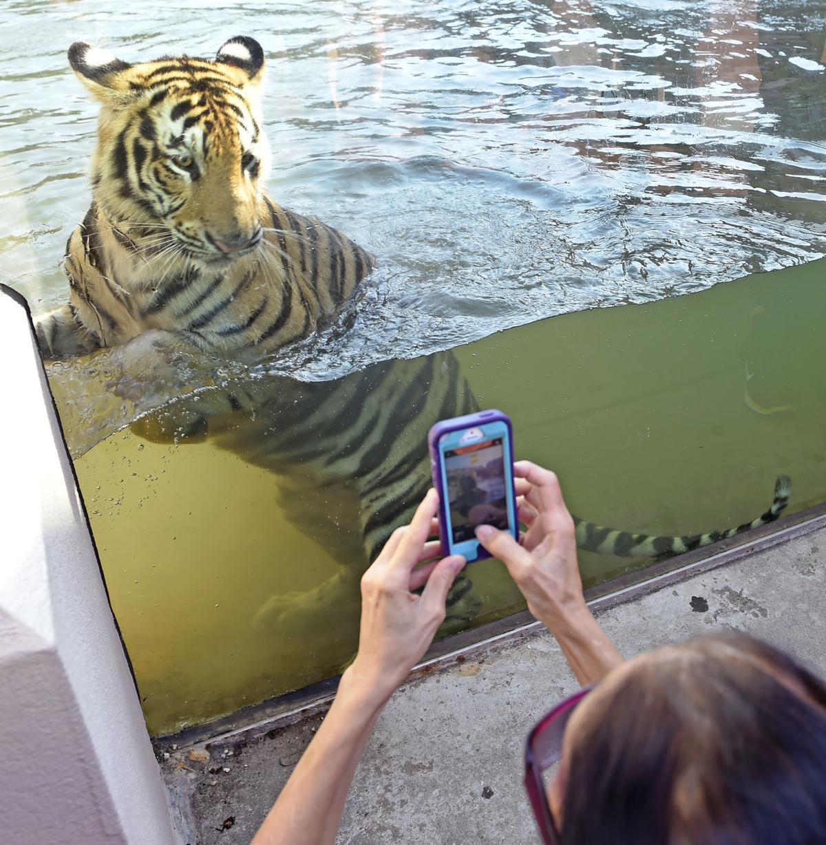 Lsu Do Mike Vii A Favor Don T Bring Pets Stuffed Animals When You