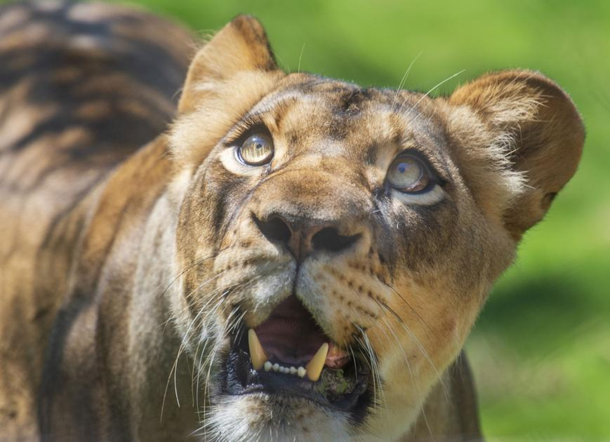 Audubon Zoo unveils new lion exhibit to public, bringing 'iconic roar' back to New Orleans