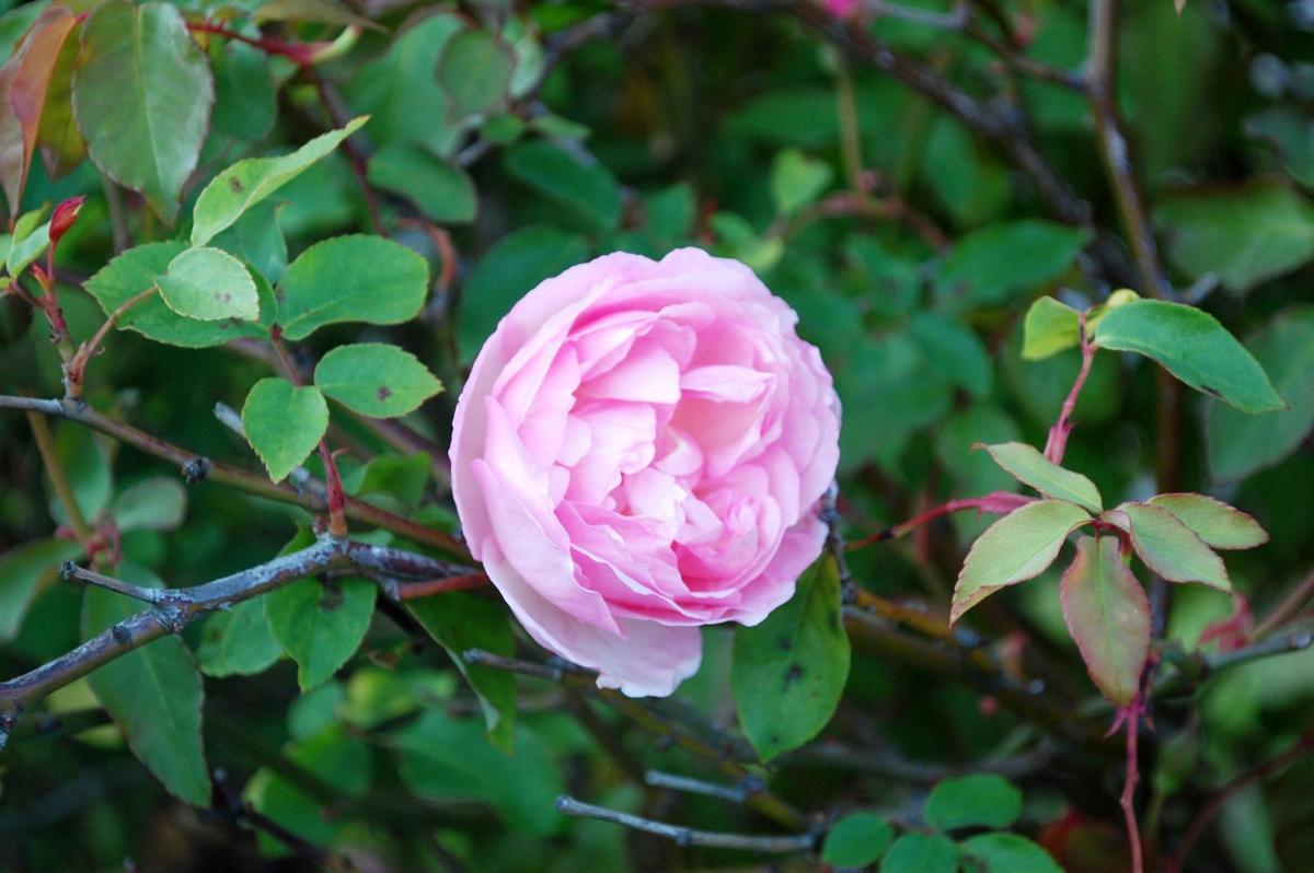 rose duchesse de brabant (2).jpg