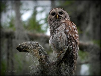 20150531-her majesty owl.jpg _lowres