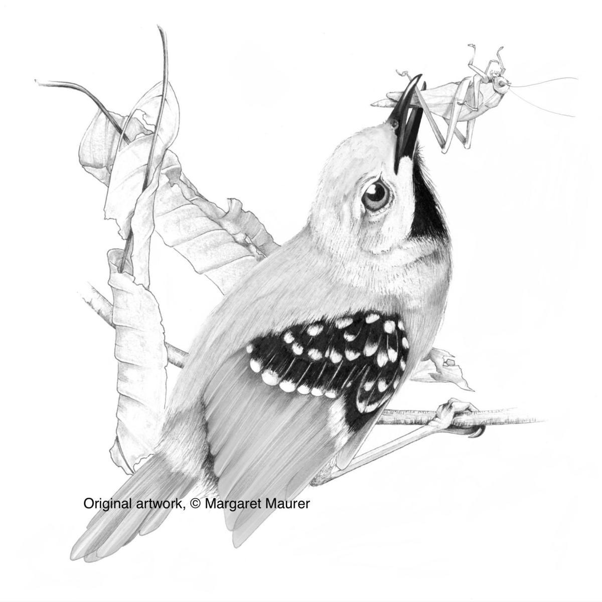 maurer illustration
