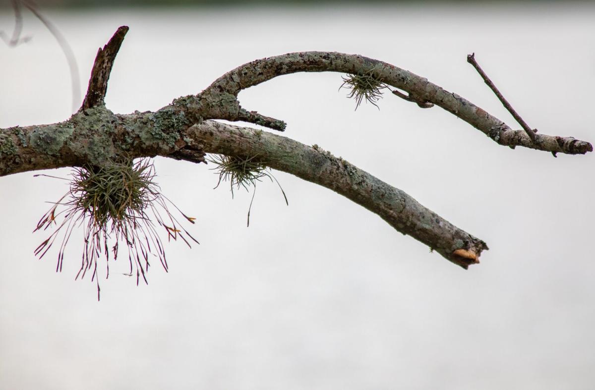 ball moss 3.jpg